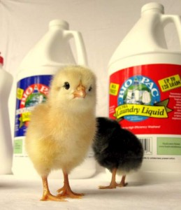 Baby Chicks and Bio Pac's Biodegradable Cleaning Products